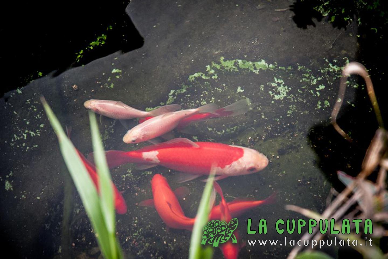 Lacuppulata05